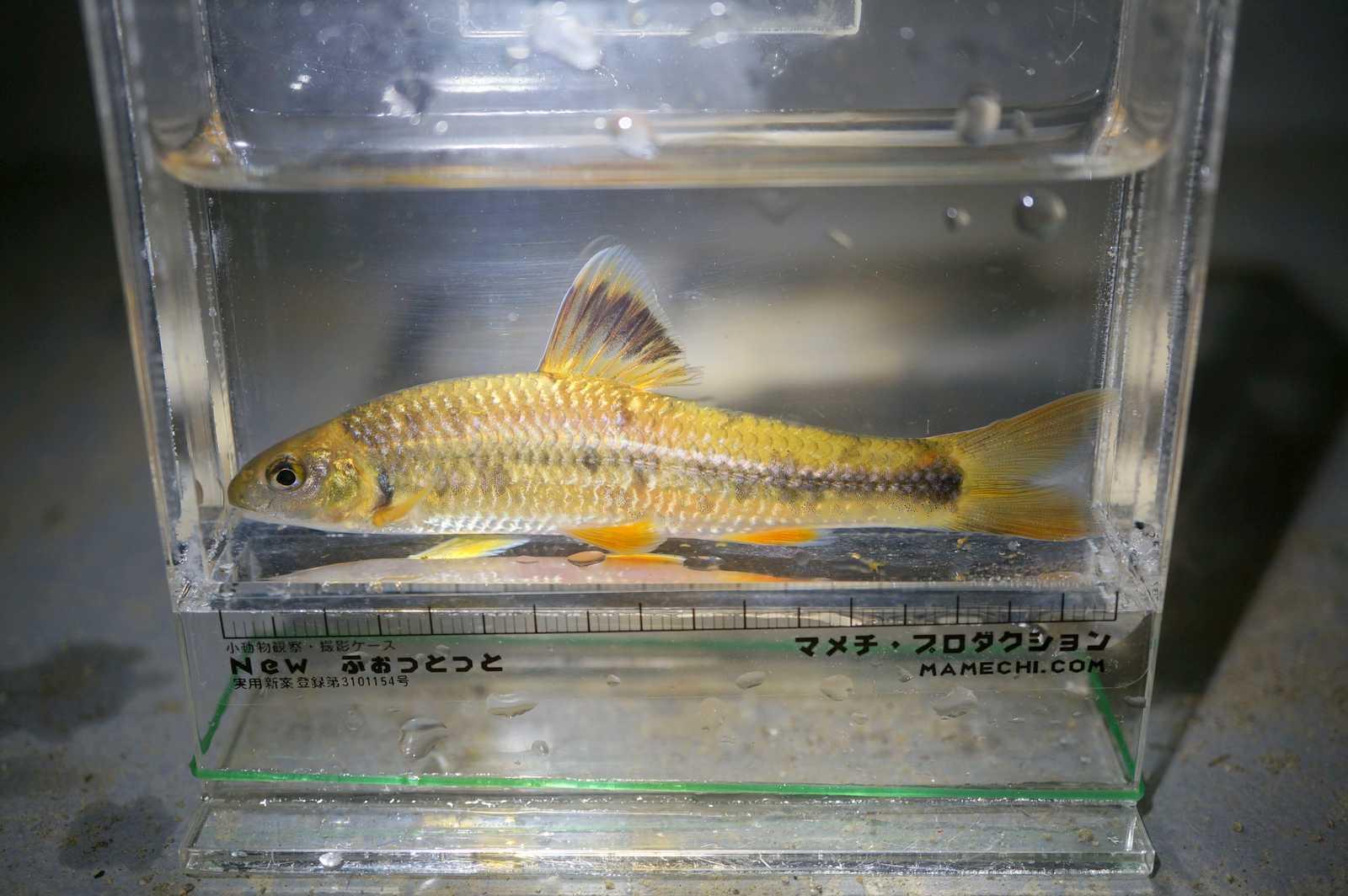 참중고기(チャムジュンコギ 和名ミナミヒガイ Sarcocheilichthys variegatus wakiyae)