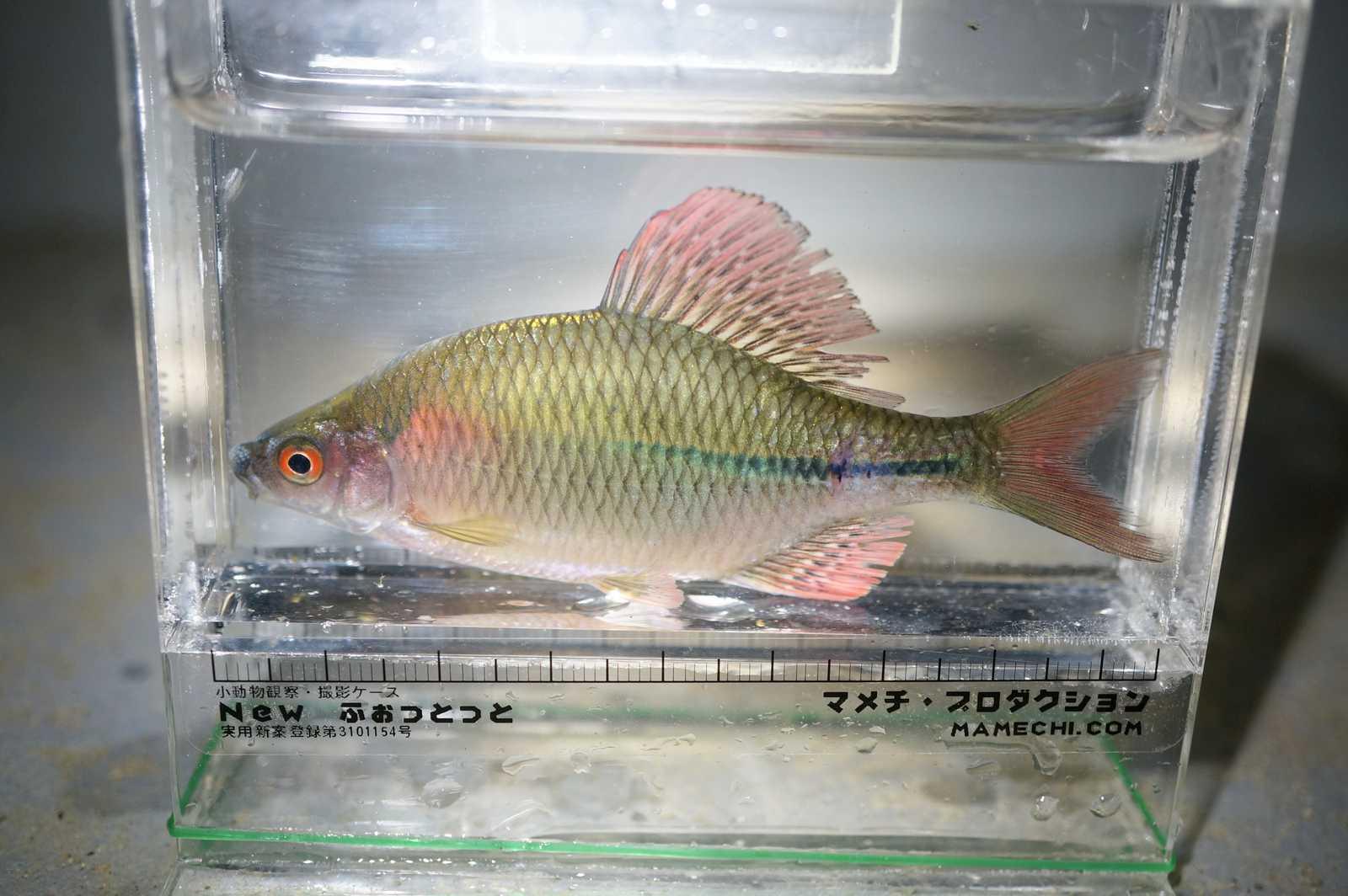 납지리(ナプジーリー 和名カネヒラ Acheilognathus rhombeus)