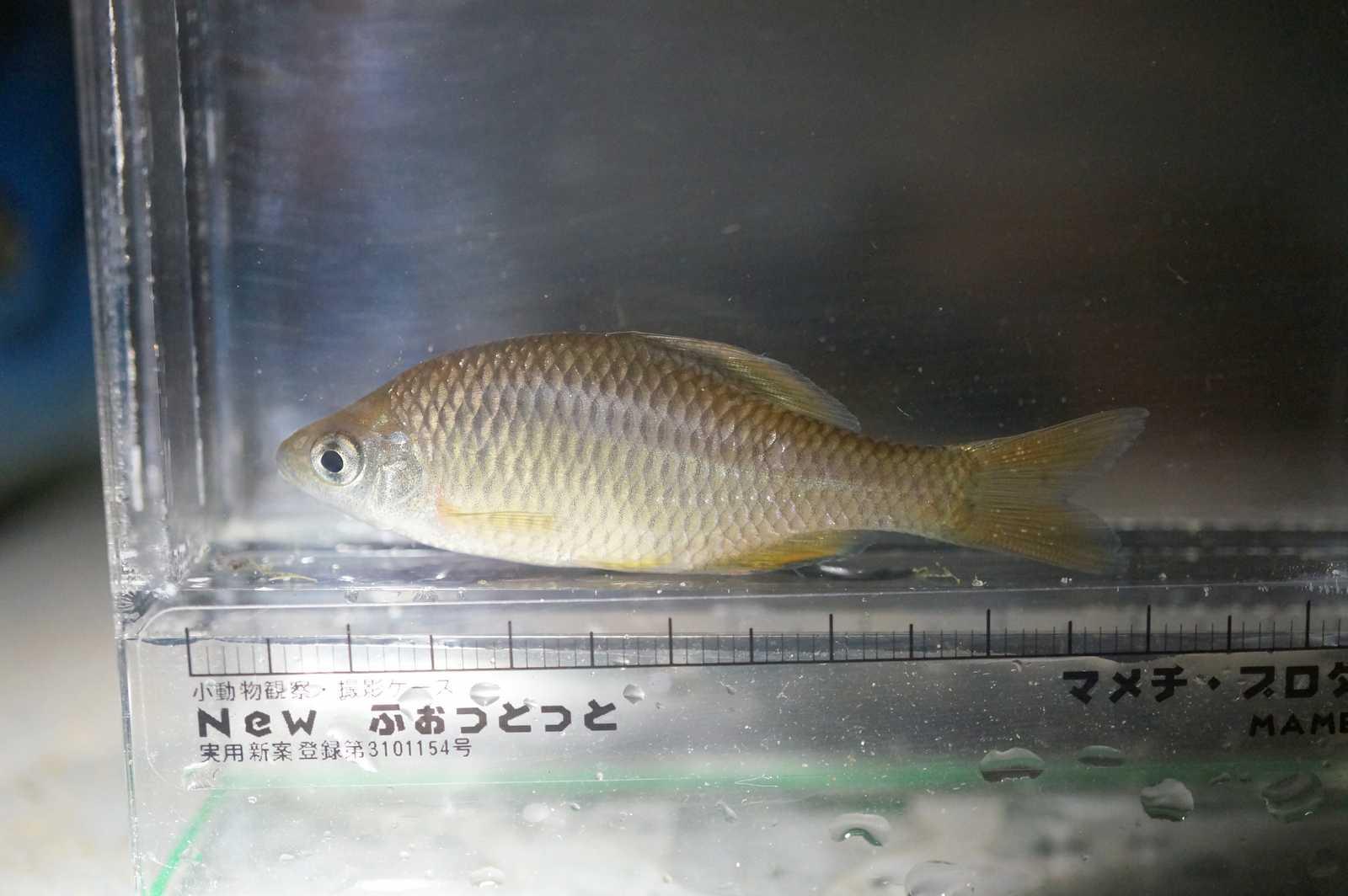 칼납자루(カルラプジャールー 和名コウライボテ Acheilognathus koreensis → Tanakia koreensis)