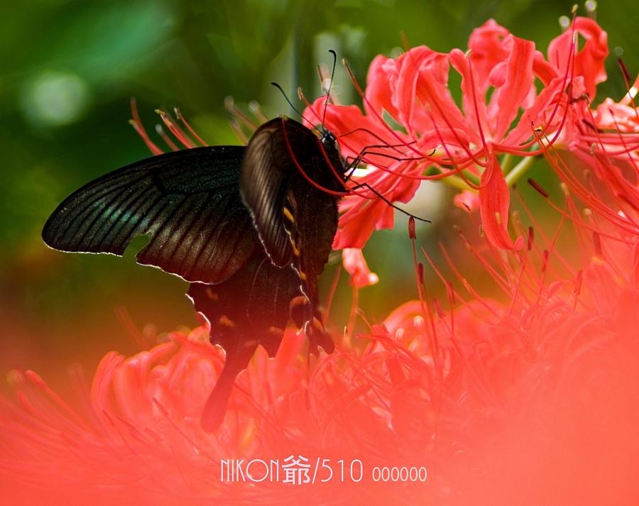 彼岸花に蝶 S_f 2