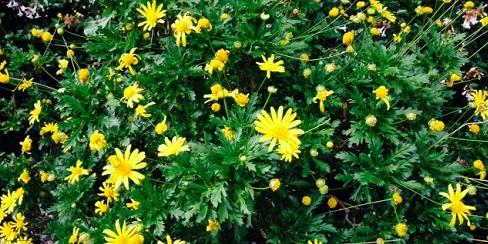 yellow cris