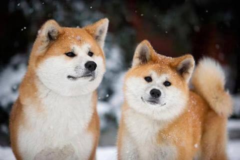 Akita-dog.jpg