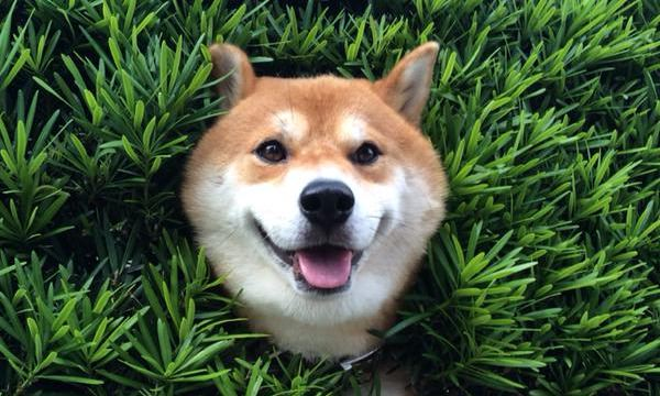 植木と柴犬