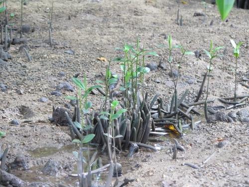 宮良川 胎生種子