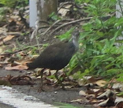 石垣島 シロハラクイナ 若鳥
