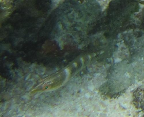 波照間ニシハマ ベラ科の幼魚?