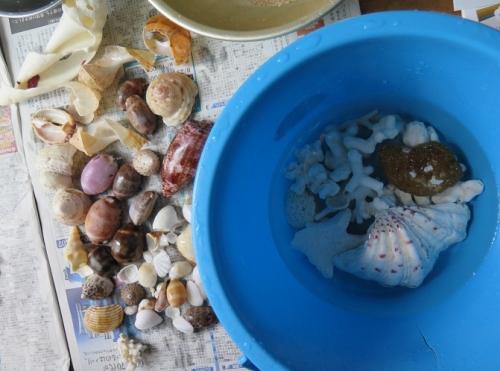 波照間ニシハマ 貝殻