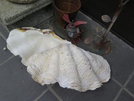 シラナミガイの殻