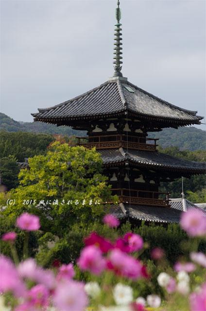 2015年10月撮影 奈良・法起寺 コスモス2