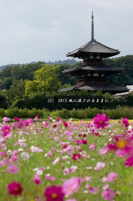 2015年10月撮影 奈良・法起寺 コスモス5