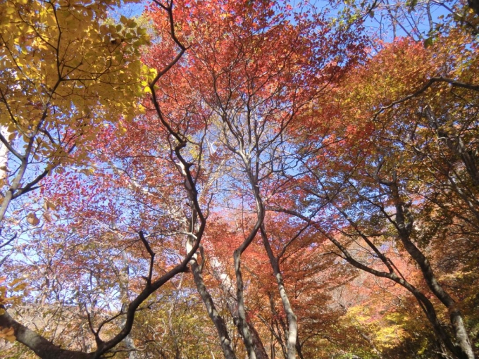 紅葉、輝く5