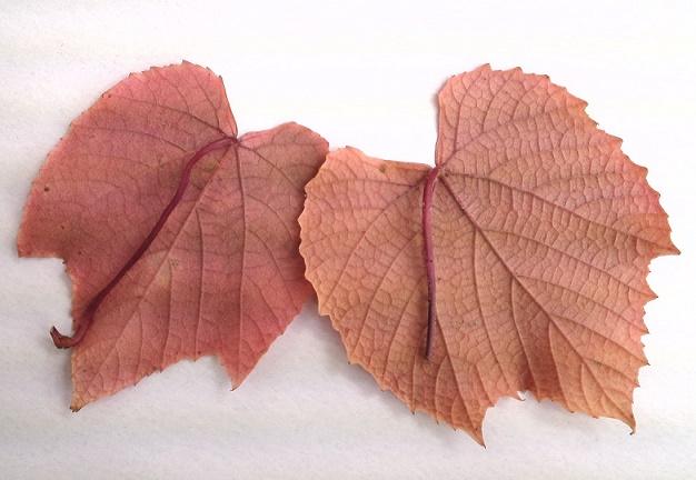 ヤマブドウ紅 (2)