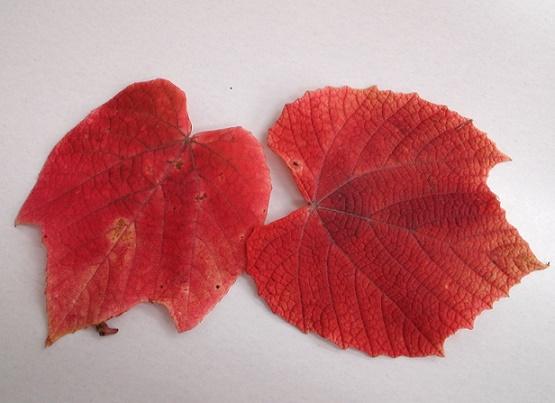ヤマブドウ紅