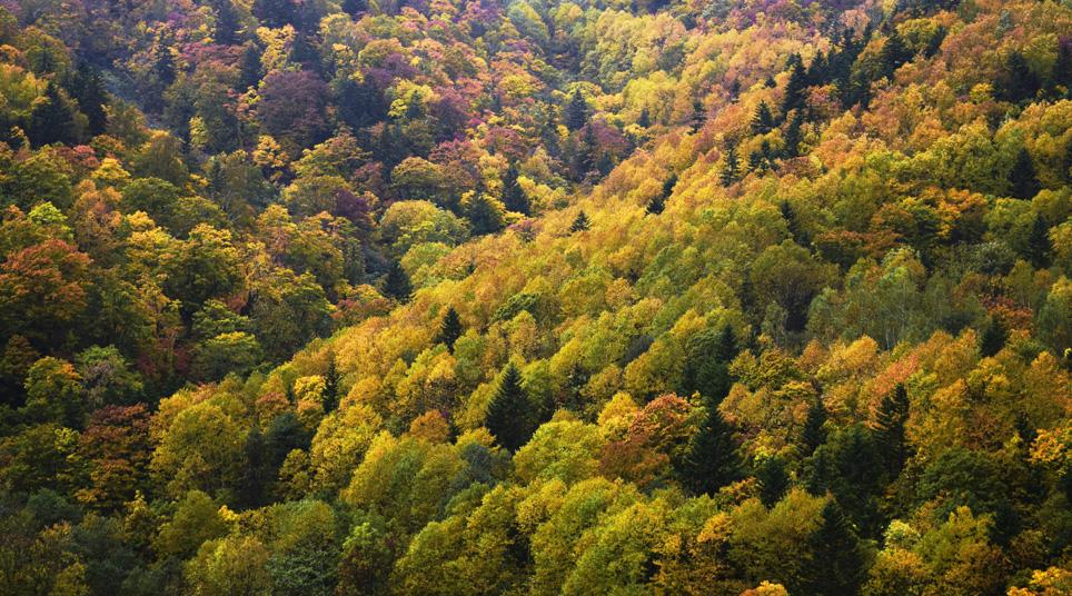 樺立トンネル北側 紅葉した白樺の樹林を黒エゾ松がコントラストを醸し出す