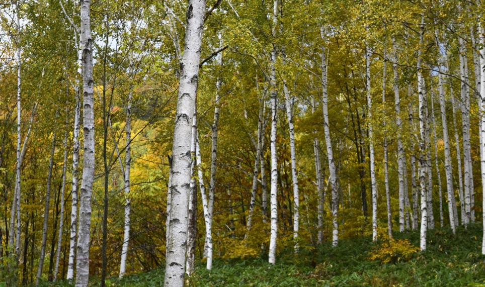 メープル街道直線道路両側には広大な白樺林が続く