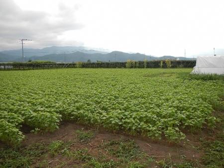 蕎麦畑 (2)