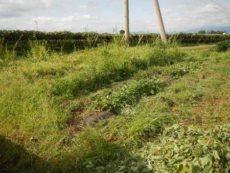 カボチャ畑 (4)