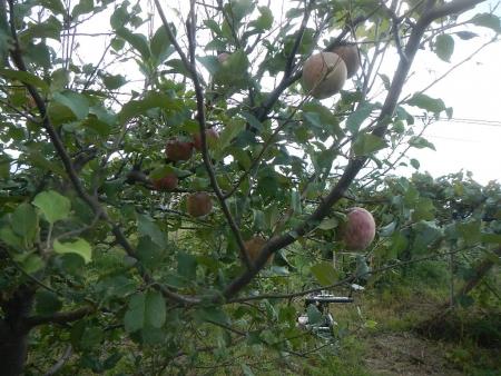 無農薬栽培りんご (3)