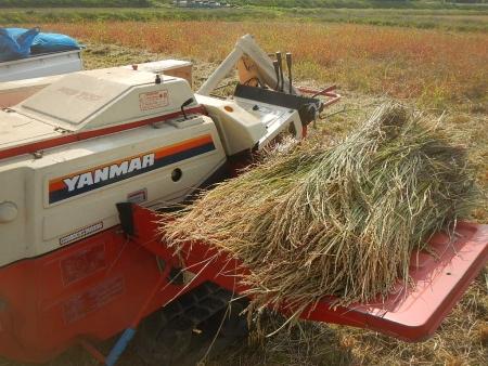 稲の脱穀作業 (4)