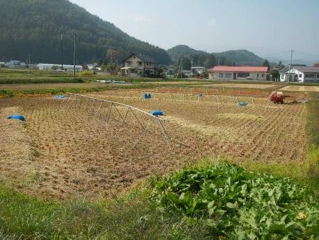 稲の脱穀作業 (3)