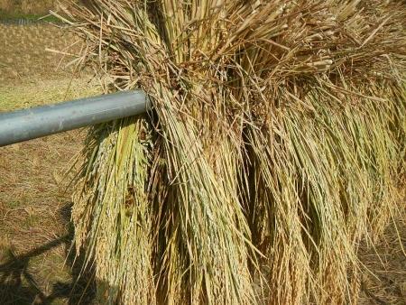 稲の脱穀作業 (2)