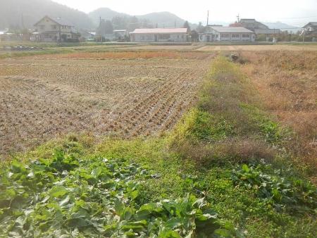 稲の脱穀作業 (10)