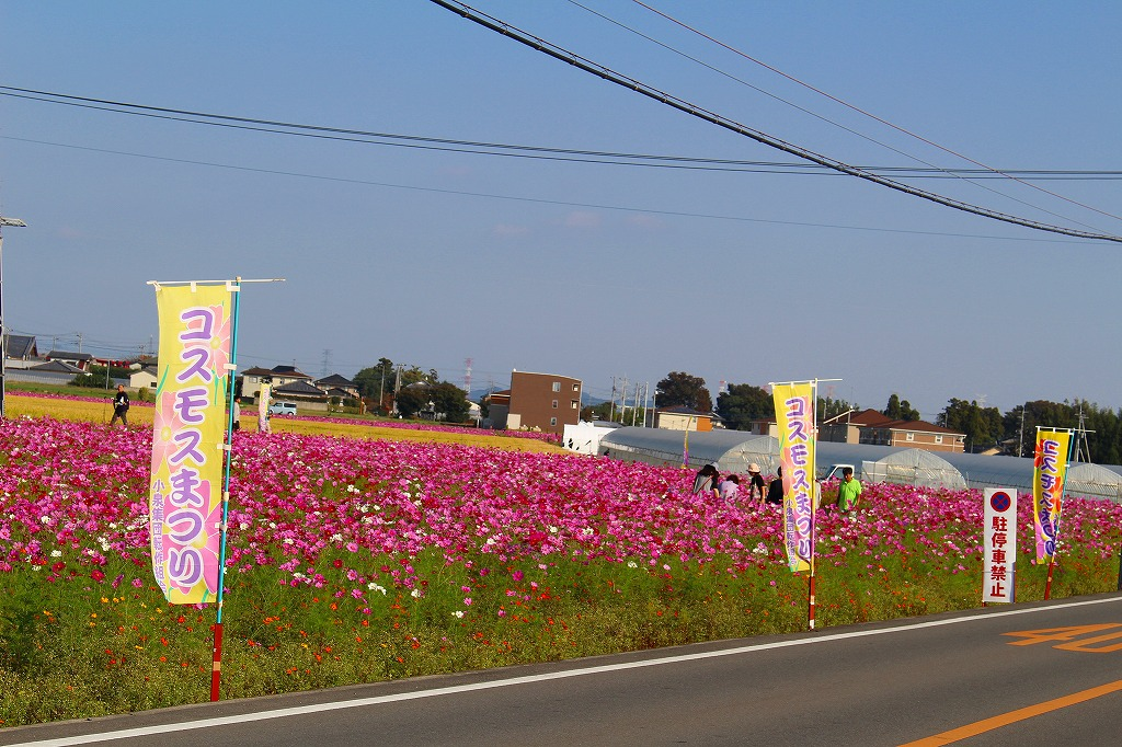 2015 小泉コスモスまつり 05