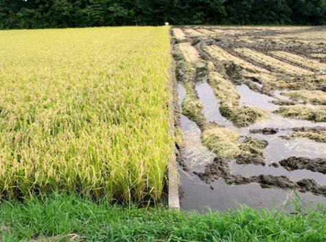 20150826 稲刈りとどんぐり 001-2