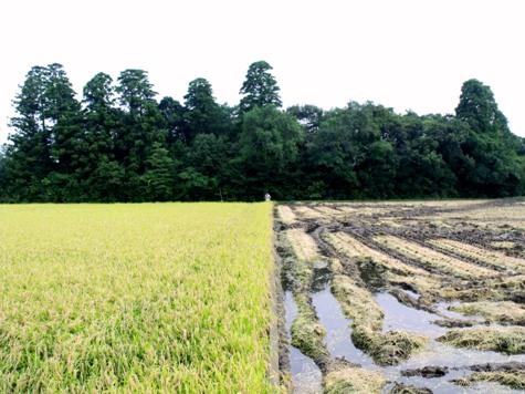 20150826 稲刈りとどんぐり 002-2