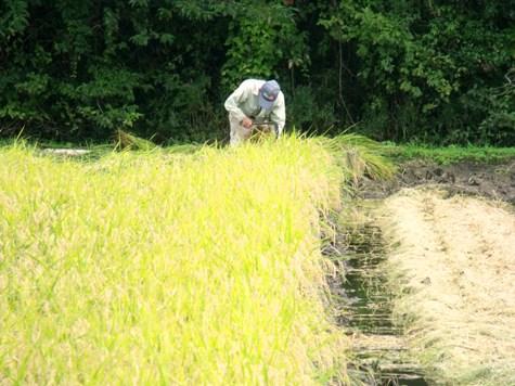 20150826 稲刈りとどんぐり 003-2