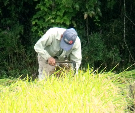 20150826 稲刈りとどんぐり 003-3