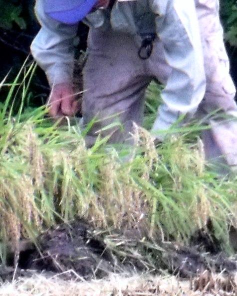 20150826 稲刈りとどんぐり 005-4