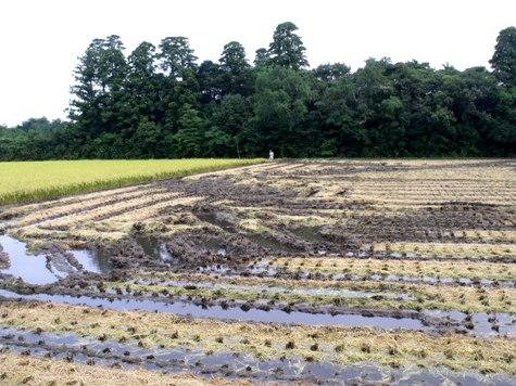 20150826 稲刈りとどんぐり 004-2