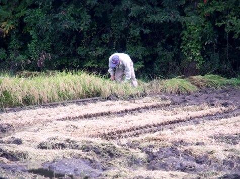 20150826 稲刈りとどんぐり 005-2