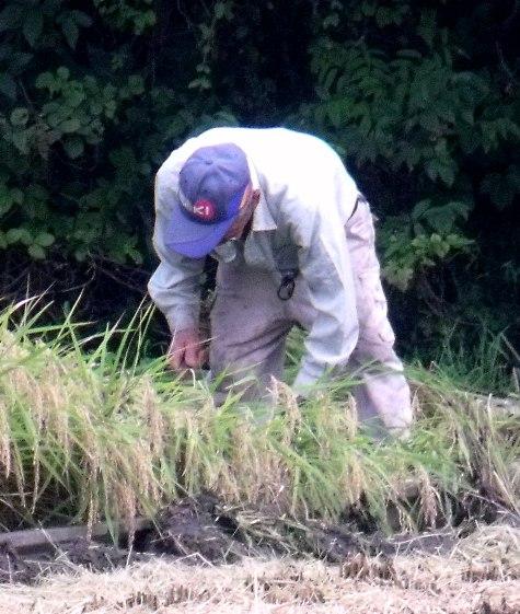 20150826 稲刈りとどんぐり 005-3