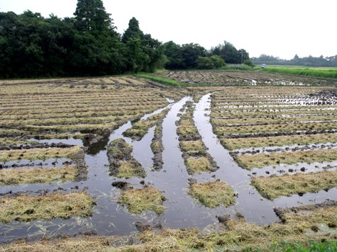 20150826 稲刈りとどんぐり 006-2