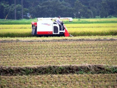 20150826 稲刈りとどんぐり 014-2