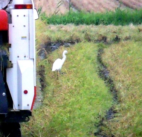20150826 稲刈りとどんぐり 086-3