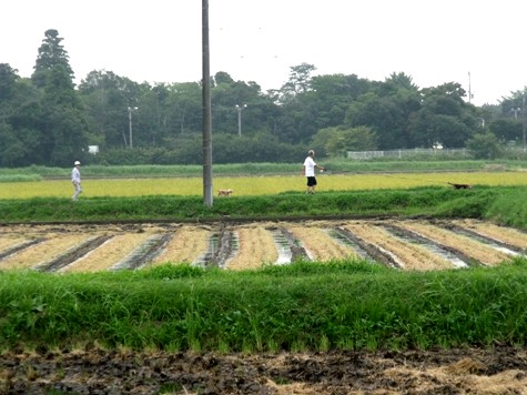 20150826 稲刈りとどんぐり 070-2