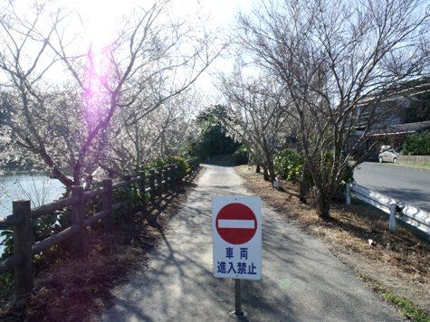 201501012 秋さくら 103-2
