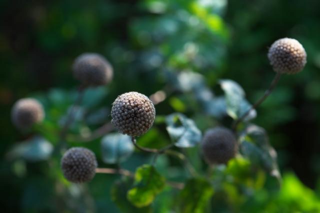 ベルガモットの花殻-01