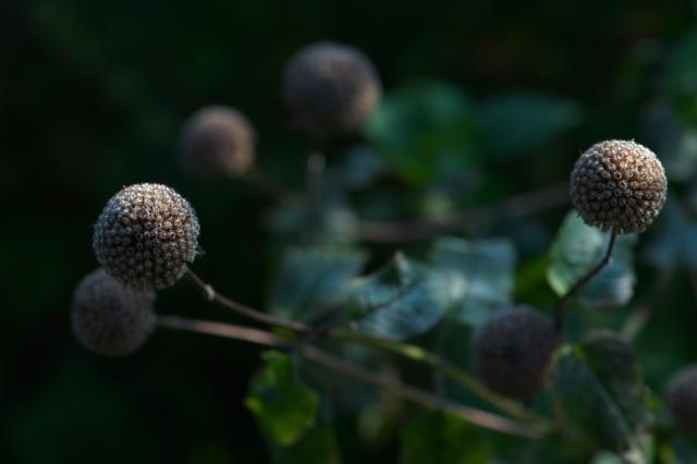 ベルガモットの花殻-02