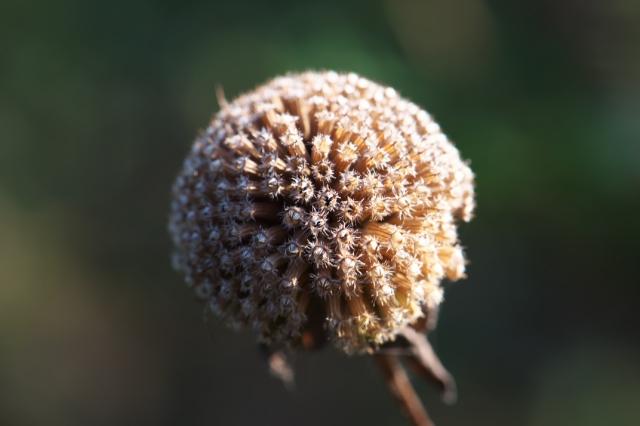 ベルガモットの花殻-03