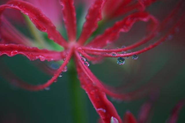 彼岸花と水滴-01