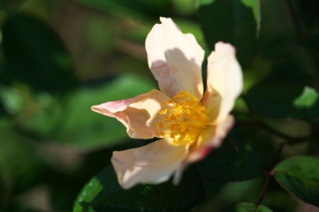 Rosa chinensis mutabilis-02