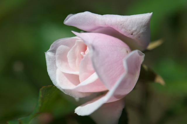 Rosa odorata(ロサ オドラータ)-01