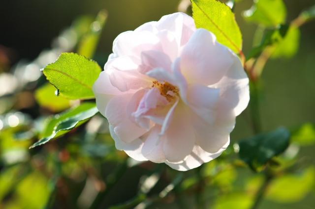 Rosa odorata-05