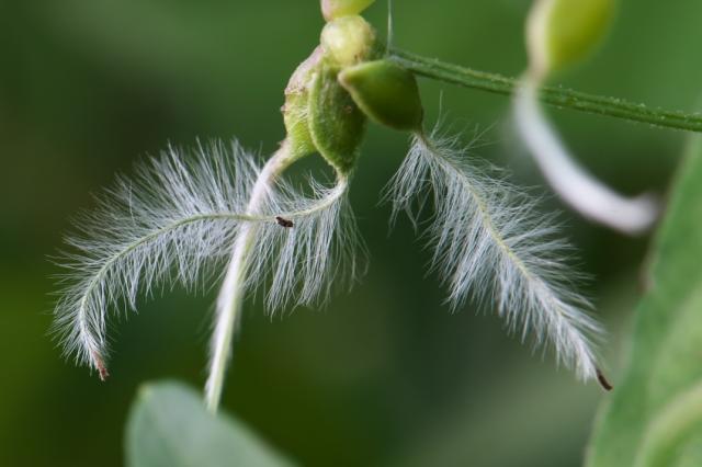 仙人草のヒゲ-01