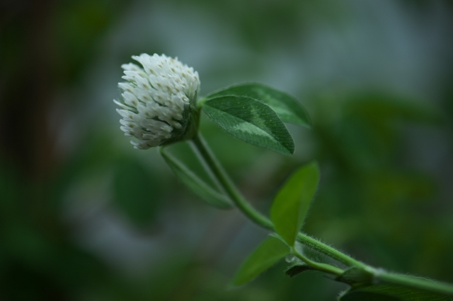 白花アカツメグサ-01