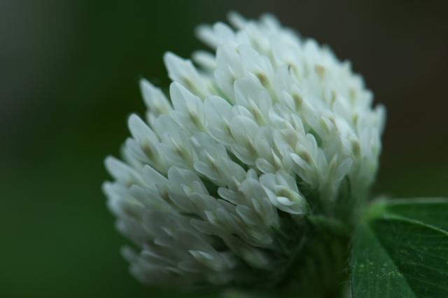 白花アカツメグサ-02
